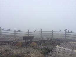 The ravens at the top